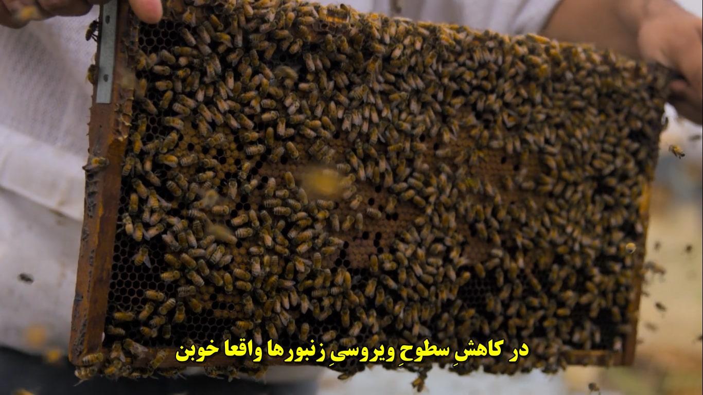 زنبور ها و سلسله قارچ ها (مایسیلیوم)